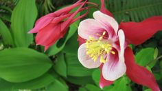 Great Design Plant: Columbine Grows Happily in Shade and Sun
