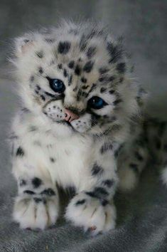 Snow leopard cub..so cute..love that little face..