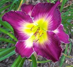 'Thieving Magpie' daylily