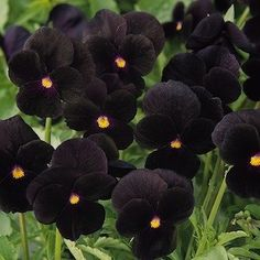 Sorbet Black Delight Viola - Annual Flower Seeds - I have these in my garden now... Stunning!