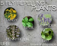 5 fly repelling plants