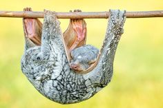 sleeping Tando (Sunda Flying Lemur) by Hendy Mp on 500px