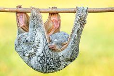 sleeping Tando (Sunda Flying Lemur) by Hendy Mp on 500px