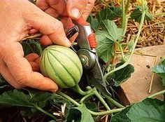 Cut the melon: the good gestures to have beautiful fruits - Garden Fruit Garden, Vegetable Garden, Organic Gardening, Gardening Tips, Gardening Supplies, Comment Planter, Garden Online, Garden Insects, Permaculture Design