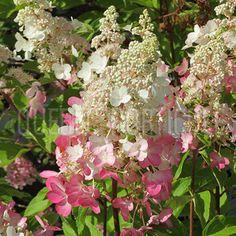 image de Hydrangea paniculata Pinky Winky