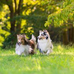 おはようございます☀、 今日からまた始まった〜! 頑張らなくては! 小春の足が良くなりますように!  #Shetlandsheepdog #sheltie #dog #シェットランドシープドッグ #シェルティ #犬 #愛犬 #instadog #instadogs #インスタドッグ #east_dog_japan #ふわもこ部 #いぬら部 #いぬのいる暮らし #犬バカ部 #IGersJP #Sheltiegram #パピー #ブルーマール #多頭飼い #セーブル #ニコン #Nikon #D500 #InstagramJapan #IGersJP #写真好きな人と繋がりたい #東京カメラ部 #tokyocameraclub