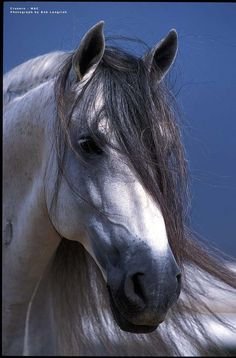le cheval blanc ♘ the white horse /caballos equine equus Horses And Dogs, Cute Horses, Horse Love, Wild Horses, Animals And Pets, Gray Horse, Most Beautiful Horses, All The Pretty Horses, Horse Photos