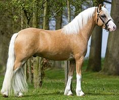 Welsh Mountain Pony section A stallion, Ysselvliedts Wilson Bluff.