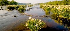Spider lilies line the serene Catawba River running through Landsford Canal State Park.