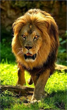 Wow! The powerful look of this lion reminds me of how God is compared to a lion- powerful and roaring with might!