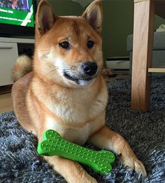 #shibainu #shiba #inu #shibagirl #instashiba #redshiba #doggy #dog#doge #dogsofinstagram #pictureoftheday #piesel #kira #cute #funny #furbaby #toy