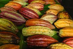 cacao pods, Grenada