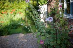 Hollyhocks in bloom against garden wall at Walnuts Farm England ; Gardenista