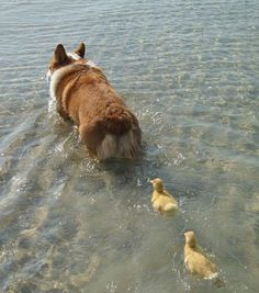 This corgi leading the ducklings back to their parents. | 29 Examples Of Animals Helping Their Interspecies Friends
