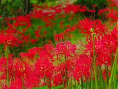 anime spider lily - Google Search