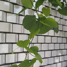 "I spotted this wall of glazed angular bricks in the City Living garden by @kategouldgardens at Chelsea - a great idea for maximising the light in a dingey spot (this was the ""basement"" level of the installation) lovely detail with the light and shade on alternate faces and contrasting dark mortar. The trailing vine finishes it off great stuff! #mystoryoflight #peninpractice #olympusuk #tostandandstare"