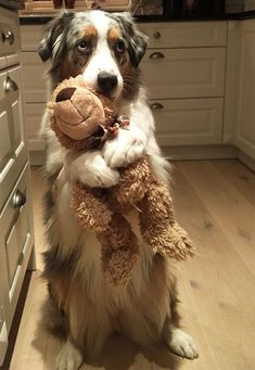 Je voulais juste te montrer mon ours en peluche I Just Wanted To Show You My Teddy Bear - Monde Des Animaux Cute Dogs Breeds, Cute Dogs And Puppies, Dog Breeds, Puggle Puppies, Maltese Dogs, Animals And Pets, Baby Animals, Funny Animals, Cute Animals