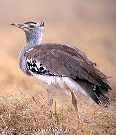 The Kori Bustard may be the heaviest bird capable of flight. It is found throughout southern Africa, except in densely wooded areas.