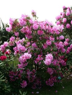Les rododendrons