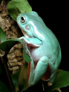 Young White's tree frog