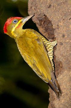 Foto pica-pau-de-garganta-barrada (Piculus capistratus) por Kurazo Okada   Wiki Aves - A Enciclopédia das Aves do Brasil