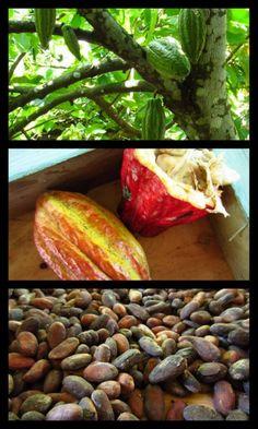 Dominican Republic, cocoa plantation