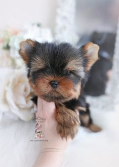 yorkie-puppy-for-sale-teacup-puppies-167 Biewer Yorkie, Morkie Puppies, Yorkie Puppy For Sale, Shih Tzu Puppy, Cute Animals Puppies, Teacup Puppies For Sale, Cute Puppies, Cute Dogs, Miki Dog