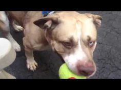 IN LOVING MEMORY OF SWEET INNOCENT AND WONDERFUL SPARKS COLDBLOODED AND TOTALLY HEARTLESS MURDERED 7/21/16 RETURNED!! SUPER URGENT Manhattan center SPARKS – A1072438 ***RETURNED 07/13/16*** MALE, WHITE / GRAY, PIT BULL MIX, 1 yr, 2 mos RETURN – HOLD RELEASED Reason PERS PROB Intake condition UNSPECIFIE Intake Date 07/13/2016, From NY 10314, DueOut Date07/20/2016, I came in with Group/Litter #K16-065492.