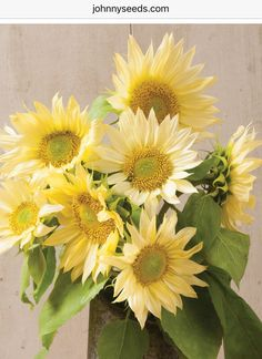 Early plantings produce vigorous plants with more branches. Flowers are in diameter and pollenless. Perfect for small, hand bouquets. Also known as common sunflower and annual sunflower. Annual Garden, Garden Seeds, Flower Arrangements, Flowers, Flower Seeds, Herb Farm, Sunflower, Flower Farm, Real Flowers