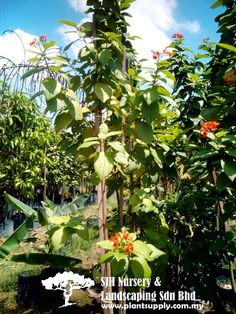 T010704 Cordia Sebestena 'Aurea' (Orange-Geiger Tree)