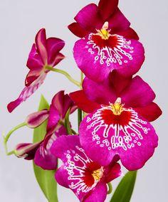 Viooltjesorchidee 'Red Tide violet Orchids' | Bakker Hillegom Holland