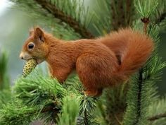 Red Squirrel    A soulless ginger squirel in its natural habit, sucking the life outta that baby tree seed  Love u Heather