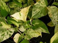 Epipremnum aureum - water frequently during spring and summer, less in winter. Bright indirect light.