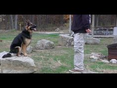 Dog Training: 2 Year Old German Shepherd, Scout! Before/After 2 Week Board and Train English Bulldog Funny, Old Dogs, Dog Training, Dog Cat, German, Puppies, Cats, Board, Animals