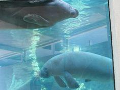 Watch manatee's play Mote Marine Aquarium in Sarasota, FL.