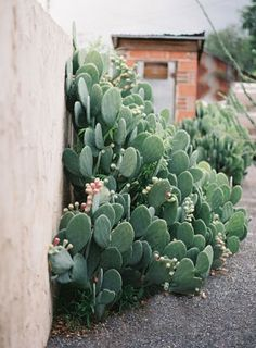 Opuntia ficus-indica (photo by N Barrett) - Gardening Inspire Cactus Plante, Plants Are Friends, Cactus Flower, Cactus Cactus, Desert Cactus, Prickly Pear Cactus, Cactus Decor, Flower Pots, Opuntia Cactus