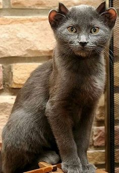 The cat with four ears - this household pet, named Yoda, was born with an extra set of ears. Awwww :)