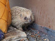 Hedgehogs are already awakened from winter sleep | Pirkko Siukonen
