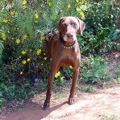 Did someone say handsome? Then you must be talking about Duke II! Gsp Rescue, German Shorthaired Pointer, Snuggles, Duke, Handsome, Animals, Animales, Animaux, Animal