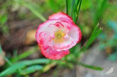 poppy #flower