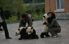 One of the baby giant pandas rescued from the Chinese earthquake hugging his carer.
