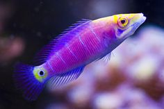 This is the psychedelic Mystery Wrasse (Pseudocheilinus ocellatus), a gorgeous fish that looks like something out of a fantasy novel. It's usually the centerpiece of an aquarists' tank since those colors are so stunning. The best part though, is that these fish actually change colors as they age. For example, oung Mystery Wrasse can be green, but will soon turn to the more familiar reddish purple body. These fish reach lengths of 4.7 inches (12 cm).