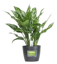 Looking for an ideal indoor houseplant that is durable enough to withstand low light and irregular watering? Description from blog.gardenmediagroup.com. I searched for this on bing.com/images
