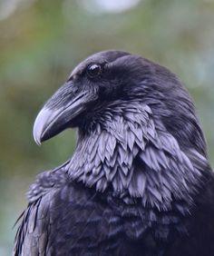 New raven bird photography dreams Ideas Raven Bird, Quoth The Raven, Pet Raven, Pretty Birds, Beautiful Birds, Raven Photography, Rabe Tattoo, Dark Wings, Crow Art