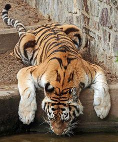 Amur tiger (by j.a.kok)
