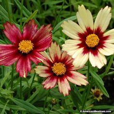 Red Coreopsis Red Shift, Coreopsis, Tickseed