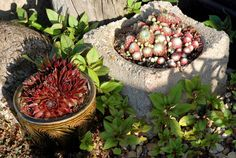 love sempervivums in a rock garden/ container