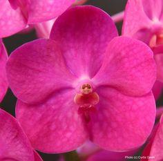 Ascocenda Suk Sumran Beauty 'Bubblicious' (V. Gordon Dillon x Ascda. Yip Sum Wah) - an orchid cultivar of the hybrid genus Ascocenda (Ascocentrum x Vanda).