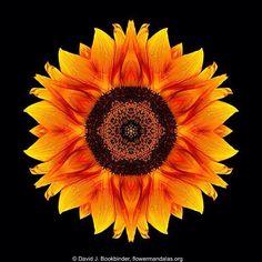 Flower Mandalas  Copyright David J. Bookbinder. http://ift.tt/2nrGT64  #flower #mandala #meditation #mandala_sharing #mandalamaze #flowermandalas #flowermandala #floral_secrets #flowerstagram #arte_minimal #beautiful_mandalas #mandaladesign #fotocatchers #flowerlovers  #flowersofinstagram #photoart #flowerstalking #the_visionaries #flowerart #sweetdreamsdlf #AColorStory #awesomeflorals #naturelovers #pathstowholeness #spiritualart #minimalism_world  #unlimitedminimal #superb_flowers…