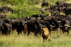 The lion attempts to run away from the incoming buffalo, even though he was weak and sore ...